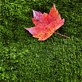 Red Leaf Green Moss by John Greim