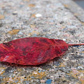 Red Leaf by Kenneth Freyer