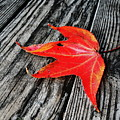 Red Leaf by Linda Sannuti