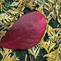 Red Leaf On  Arborvitae Leaves by Douglas Barnett