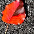 Red Leaf On Asphalt by Douglas Barnett