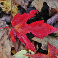 Red Leaf by Paul Mencke