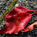 Red Leaves And Concrete by Barbara  White