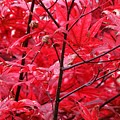 Red Leaves And Stems 2 Pd by Lyle Crump
