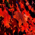 Red Leaves by Angela Sherrer