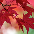 Red Leaves by Clare Bambers