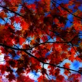 Red Leaves by Jeff Breiman