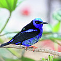 Red-legged Honeycreeper - Rdw003938 A Photograph Bt Dean Wittle by Dean Wittle