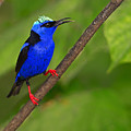 Red-legged Honeycreeper by Tony Beck
