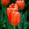 Red Tulips by Az Jackson