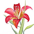 Red Lily by Deborah Ronglien