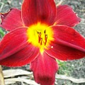 Red Lily by Ward Smith