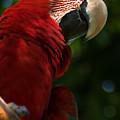 Red Macaw 2 by Bibi Rojas