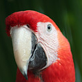 Red Macaw by Anita Parker
