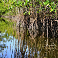 Red Mangrove Roots Reflections In The Gordon River by Bob Phillips