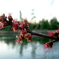 Red Maple Buds At Dawn by Kent Lorentzen