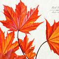 Red Maple by Christina Rollo