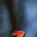 Red Maple Leaf In Water by Steve Somerville