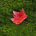 Red Maple Leaf  by John Greim