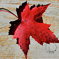 Red Maple Leaf by Karen Adams