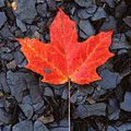 Red Maple Leaf On Black Shale by John Harmon
