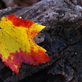 Red Maple Leaf On Old Log by Anna Lisa Yoder