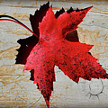 Red Maple Leaf With Burnt Edge by Karen Adams