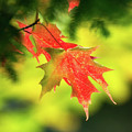 Red Maple Leaves 4983 by Dan Beauvais