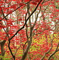Red Maple Leaves And Branches by Carol Groenen