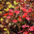 Red Maple Leaves by Hyuntae Kim