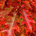 Red Maple Leaves by Teri Virbickis