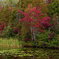 Red Maple Over Lily Pads by Les Palenik