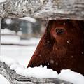 Red Milking Devon Snowflakes by Rachel Morrison