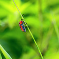 Red Milkweed Beetle by Photopoint Art