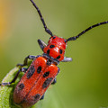 Red Milkweed Beetle by Quenel Jiang