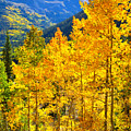 Red Mountain Aspens by Ray Mathis