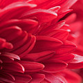 Red Mum by Jim Gillen