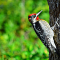 Red-naped Sapsucker by Alan C Wade