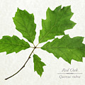 Red Oak Leaves by Christina Rollo