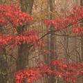 Red Oak In Fog by John Burk