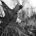 Red Oak Leaf Four by Nicholas Miller