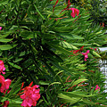 Red Oleander Arbor by Marie Hicks