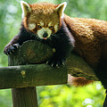 Red Panda Ailurus Fulgens Jerez De La Frontera Spain by Pablo Avanzini