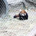 Red Panda Cub by Rocky Washington