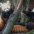 Red Panda Cubs At Play by Greg Nyquist