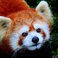 Red Panda by Davandra Cribbie