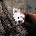 Red Panda by Diane Greco-Lesser