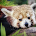 Red Panda by Elaine Malott