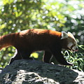Red Panda In A Tree by Christiane Schulze Art And Photography