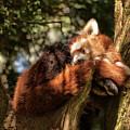 Red Panda by Jay Lethbridge